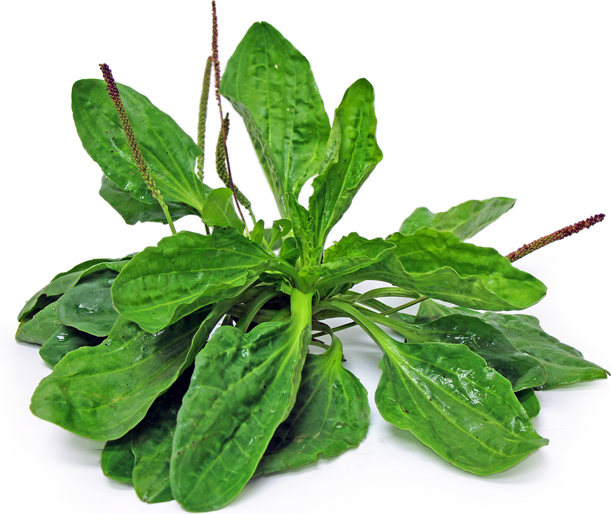 Broadleaf Plantain Information And Facts
