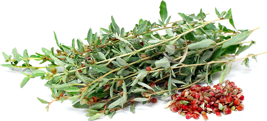 Saltbush Berries picture