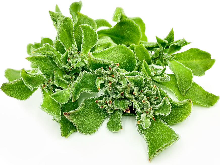 Crystalline Ice Plant picture