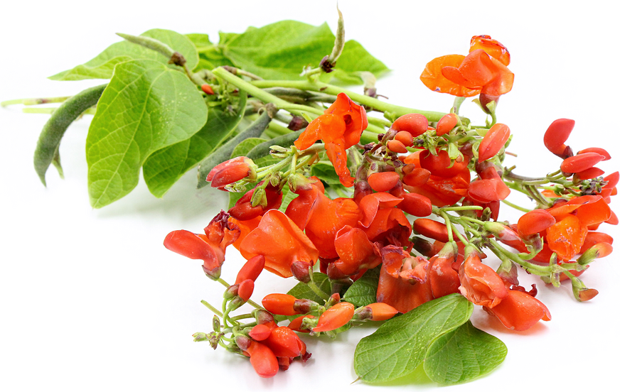 scarlet runner bean flowers information and facts