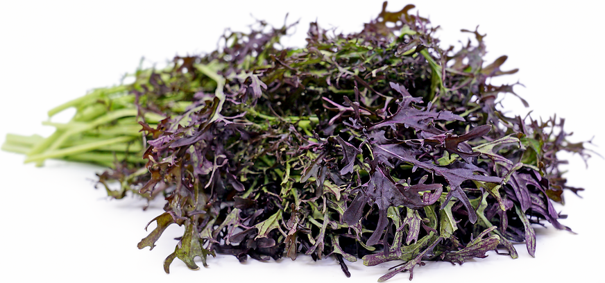 Red Mustard Frill Information and Facts