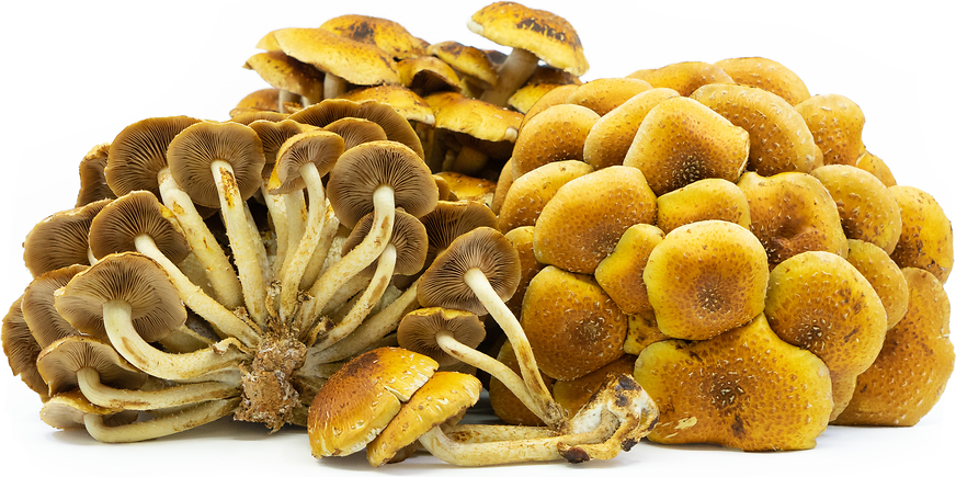 Cinnamon Cap Mushrooms picture