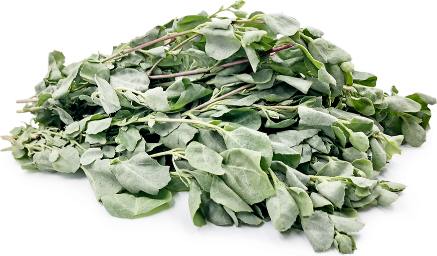 Saltbush Information And Facts