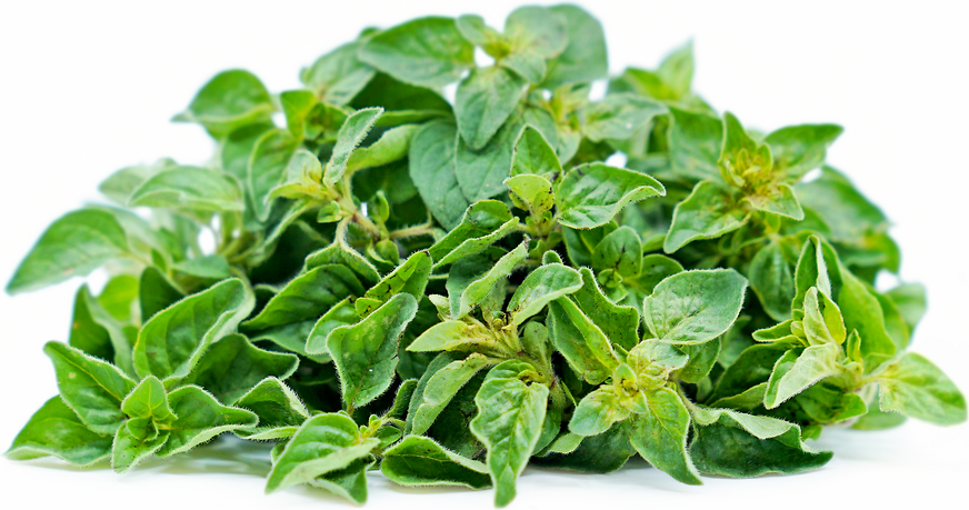 Greek Oregano picture