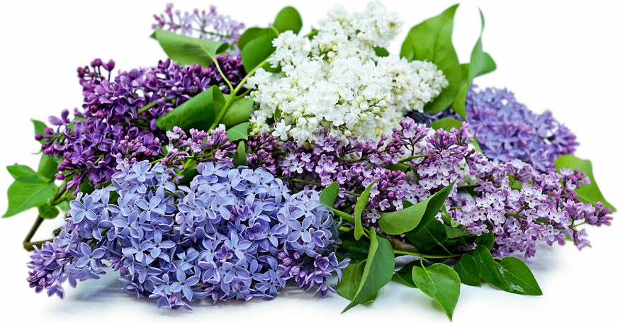Lilac Flowers picture