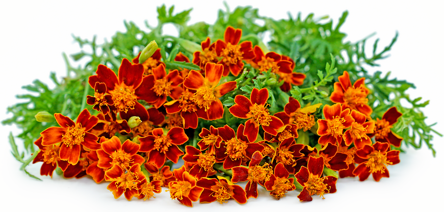 Red Gem Marigold Flowers picture