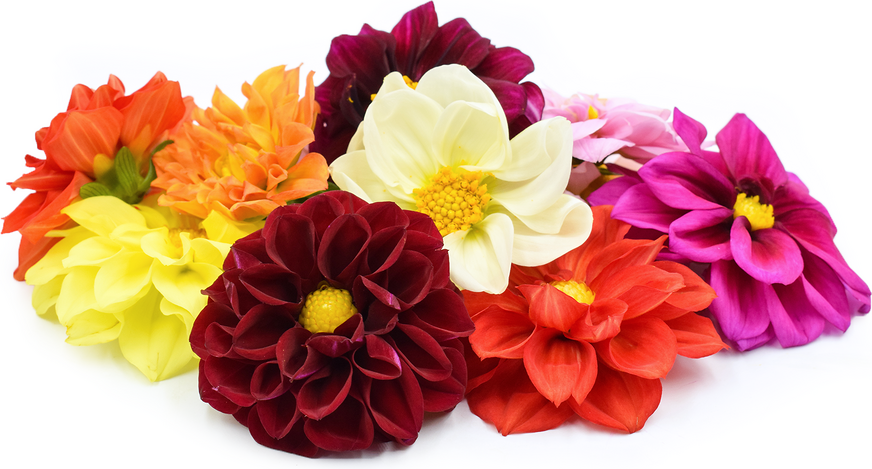 Dahlia Flowers Information Recipes And Facts