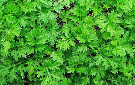 Asiatic Wormwood picture