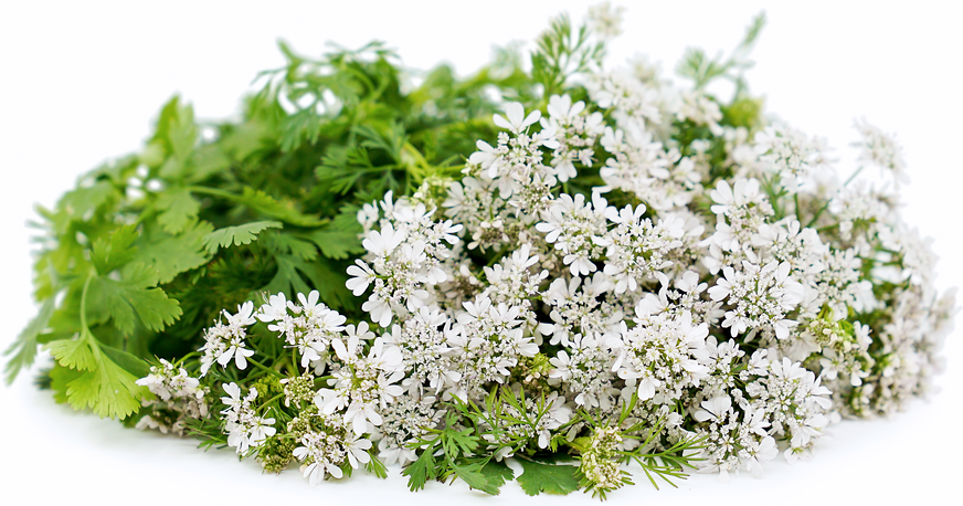 Coriander Flowers Information Recipes And Facts