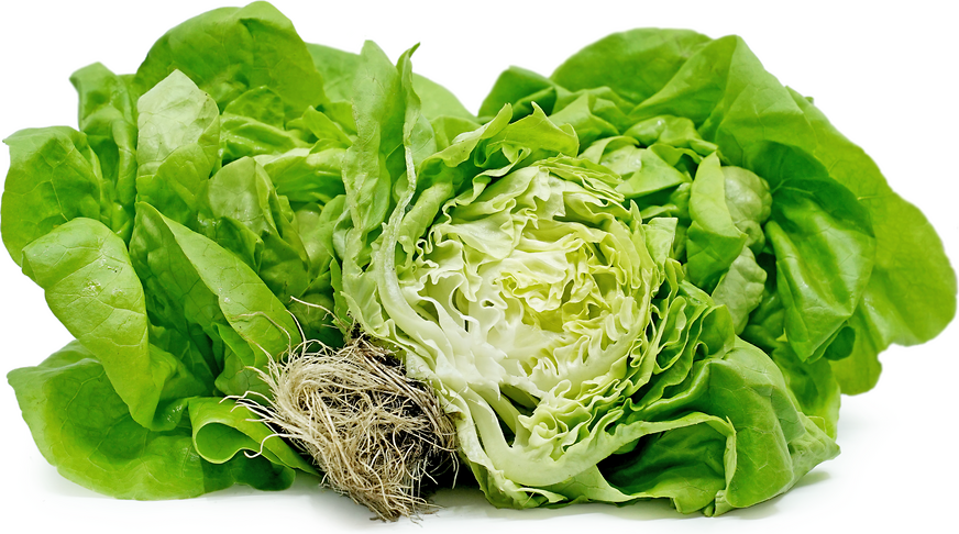 Hydroponic Boston Lettuce picture