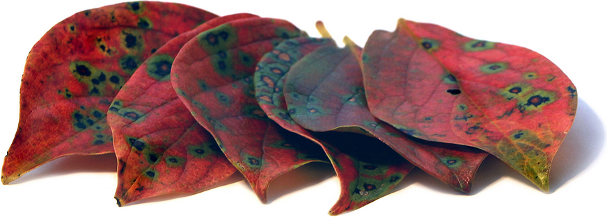 Persimmon Leaves picture